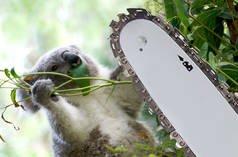 URGENT» Stop aux abattages dans la forêt des koalas