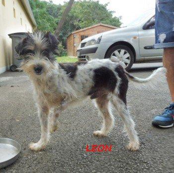 ACTU Animaux - Léon, chien réunionnais, sauvé de la mort en fourrière, patte écrasée à opérer