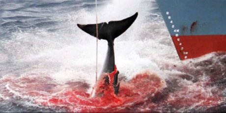 Quelques heures pour sauver les baleines