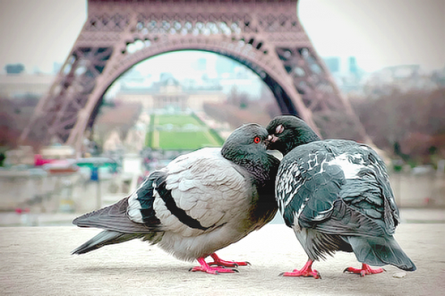 Pigeons/Tendresse§Images Humour § Biz .
