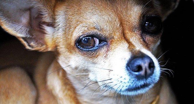 Condamné pour avoir abandonné ses chihuahuas dans sa maison - Fondation 30 Millions d'Amis