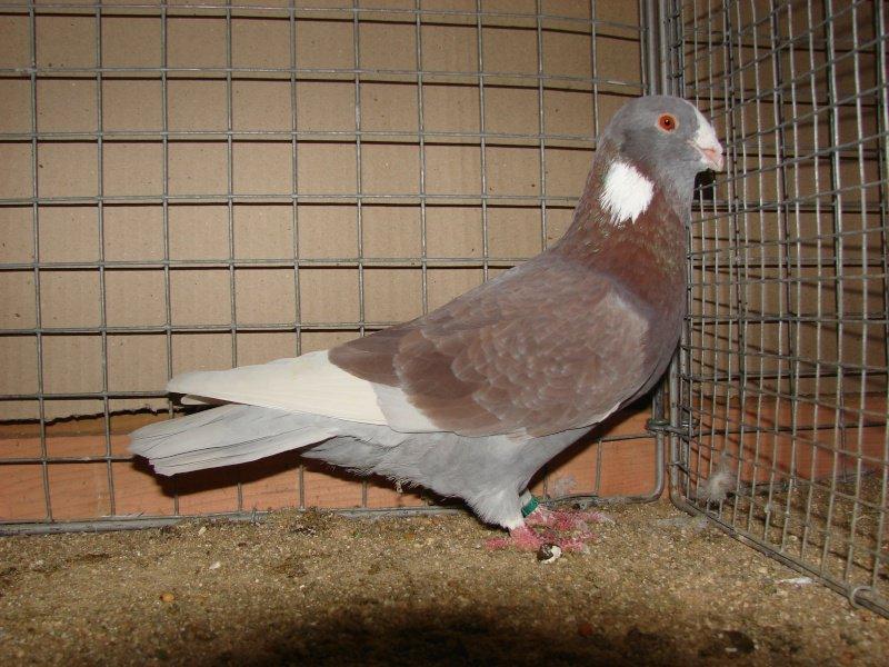 Syrian Dewlap pigeons