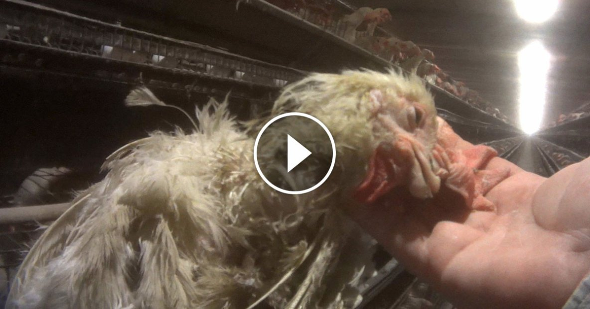 Egg Industry Cruelty