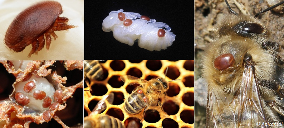 """MESSAGE ADAAQ - L'arrêt de ponte hivernal pour lutter contre varroa"""""""
