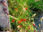 Les Fleures du marais