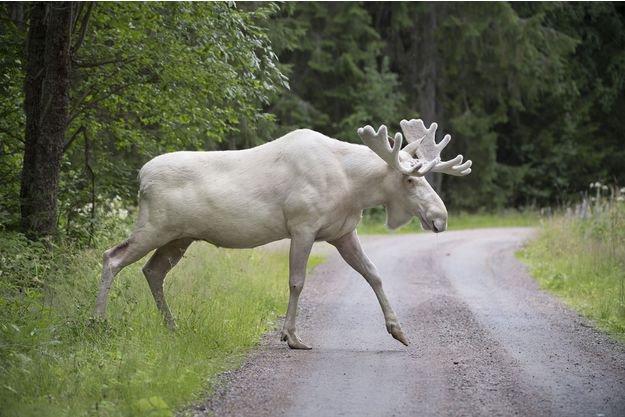 Un très rare élan blanc se laisse filmer en Suède