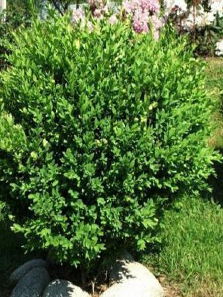 Buis commun - Buxus sempervirens - Le Jardin du Pic Vert