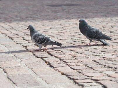 ANIMAUX. Un virus frappe les pigeons bâlois