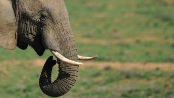 Le trafic d'ivoire finance les Shebab somaliens
