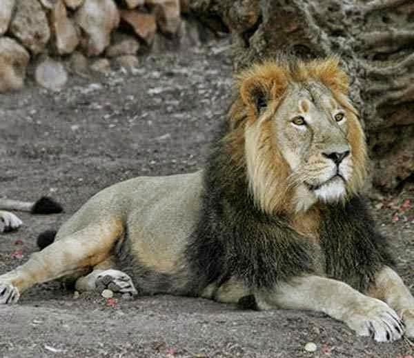 Beautiful Photos of Lions
