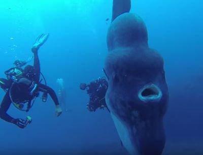 Des plongeurs découvrent un immense poisson lune - posté par webmaster à Sercomxat