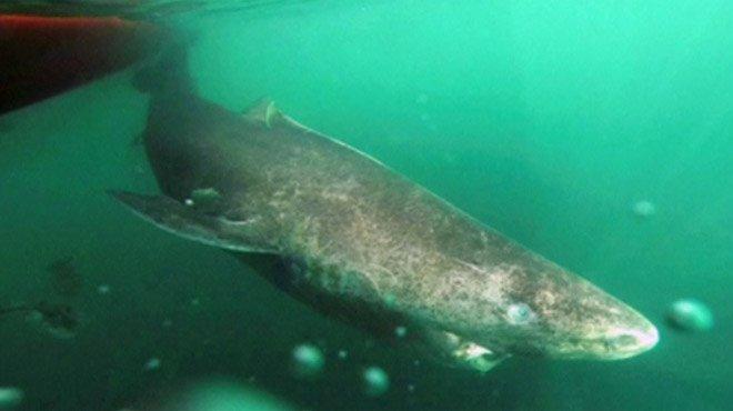 Ce requin est devenu le vertébré à la plus longue espérance de vie: 400 ans !