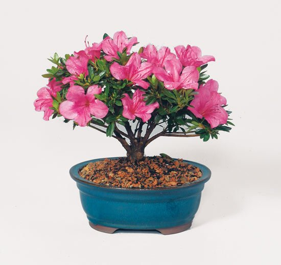 Mothers day Plants delivery online