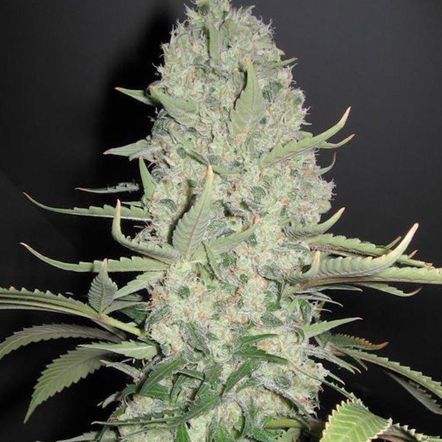 White Widow x Big Bud Feminised Seeds