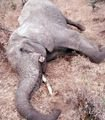 Please help stop the Poaching of African Elephants!!! - The Petition Site