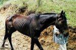 Des chevaux affamés et maltraités à Lessines - Blog de Actuanimals