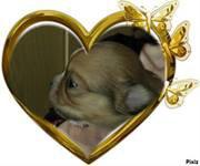 Chihuahuas Des minis joyaux d'Isa