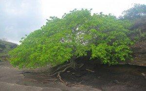 Conheça a árvore mais perigosa do mundo