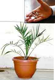Une graine vieille de deux mille ans germe