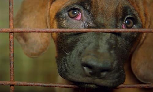 Pétition : Contre l'industrie de la viande canine sud-coréenne