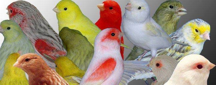 Les principales maladies et troubles affectant les oiseaux - canariscouleur59.over-blog.com