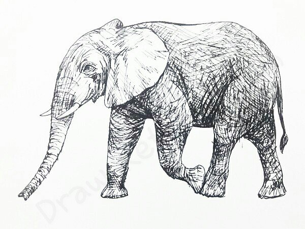 How to Draw An Elephant: In 13 Easy And Detailed Steps with (Pictures)