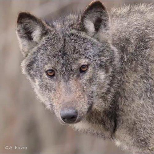 On tue trop de loups en France mais Ségolène Royal en veut toujours plus ! - ASPAS : Association pour la Protection des Animaux Sauvages
