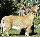 Le ligre ou ligron - Tigre Lion - Paranormal