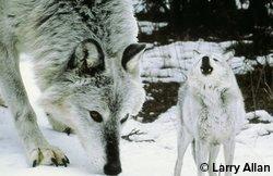 La 11ième heure pour sauver les loups gris ! le loup gris le plus majestueux  celui qui  je préfére par excellence il a tout d'un grand  le plus méfiant, le plus expressif dans son regard, le plus fidèle et j'en passe .............. signez la pétition merci  à tous