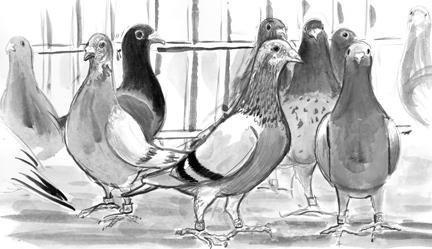 Grande vente de pigeons voyageurs