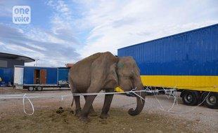 Bordeaux: L'éléphante Maya sera-t-elle retirée de son cirque par le tribunal?