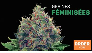 Graines de Cannabis - Ministry of Cannabis
