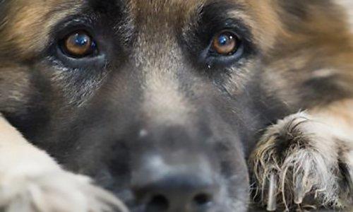 Pétition : Urgent : sauver Cyra mâle Berger Allemand battu qui risque l'euthanasie !