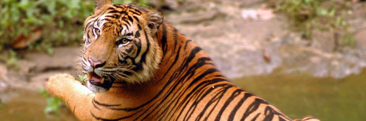 Le tigre de Sumatra, en danger critique | WWF