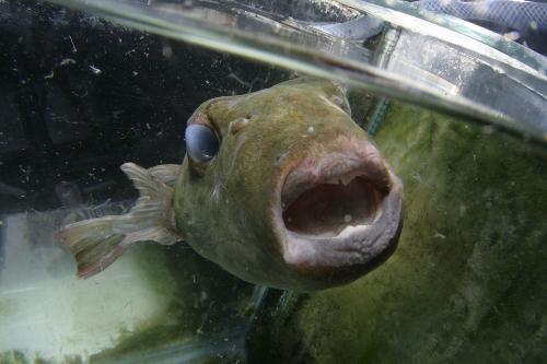 La Côte d'Azur attend l'arrivée d'un poisson toxique