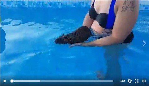 ヌートリア、プールで水泳練習する : ヌートリアの楽しい動画集(日本ヌートリア交流協会)