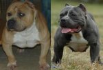 Thug Bully - Elevage Bouledogue Americain et American Bully
