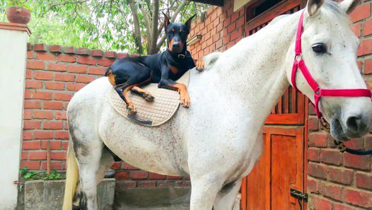 """On surnomme ce dobermann le """"chien qui murmure à l'oreille des chevaux"""" ; attendez donc de découvrir pourquoi... by BridozEmotion - Dailymotion"""