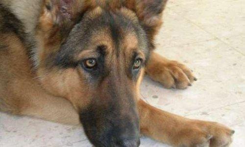 Pattes facturées et corps calciné : le pauvre chien a vécu un enfer