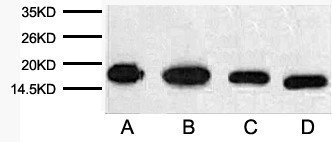 Anti-Rubisco (Large Chain) Monoclonal Antibody (9Y6) - Abbkine - Antibodies, proteins, biochemicals, assay kits for life science research
