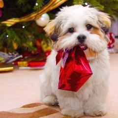 Forte augmentation des intoxications chez les chiens durant les fêtes, montre une étude