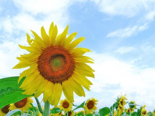 Millions of Sunflowers Soak Up Nuclear Radiation in Fukushima