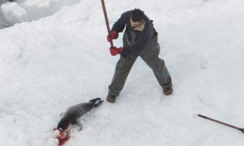 Pétition : Halte au massacre des bébés phoques au Canada.