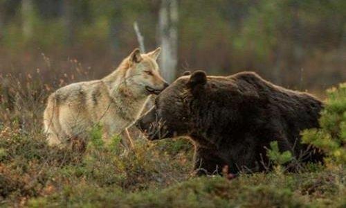 Pétition : Contre l'abattage des ours et des loups en Alaska