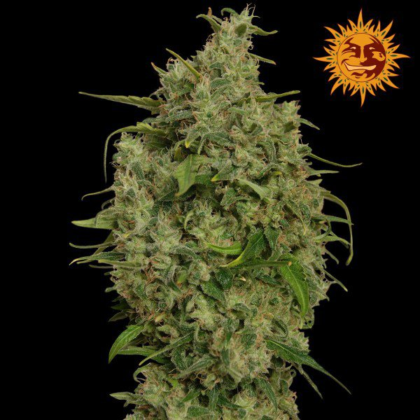 Sweet Tooth Feminised Seeds - Marijuana