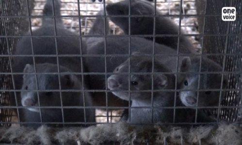 Pétition : Interdisons les élevages des animaux pour l'industrie de la fourrure
