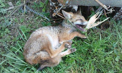 Pétition : Non aux piégeages des renards !