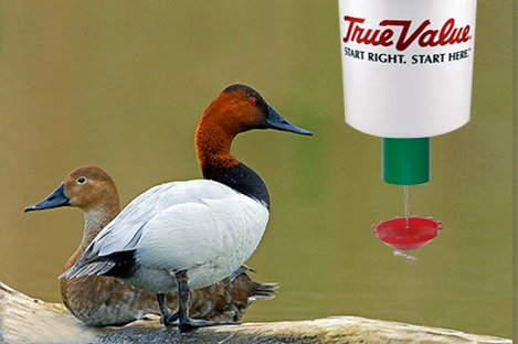 Canvasback Duck Using Automatic Duck Feeder Pets Listing For Sale