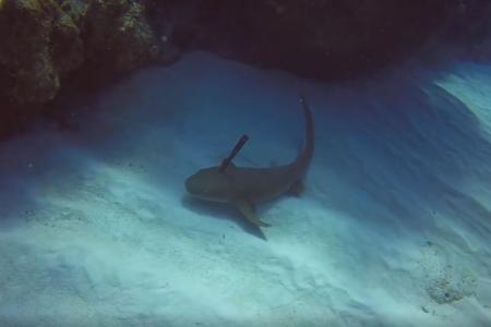Ce requin avec un couteau dans la tête demande de l'aide à un plongeur (vidéo)