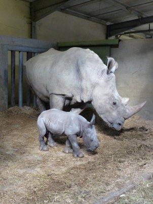 Peaugres : le Safari envisage de couper les cornes de ses rhinocéros